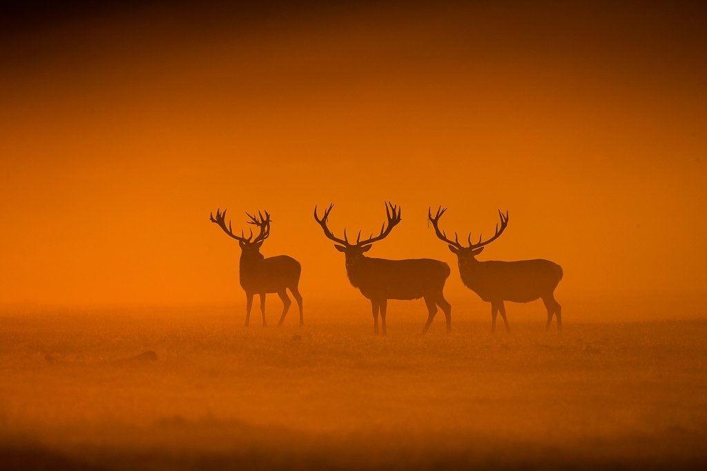Stags_in_the_mist_by_Jules_Cox_julescoxphoto_1024x1024