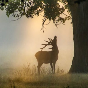 1st_Place_A_stag_in_Bushy_Park_London_by_David_David_Photos_UK_thumb
