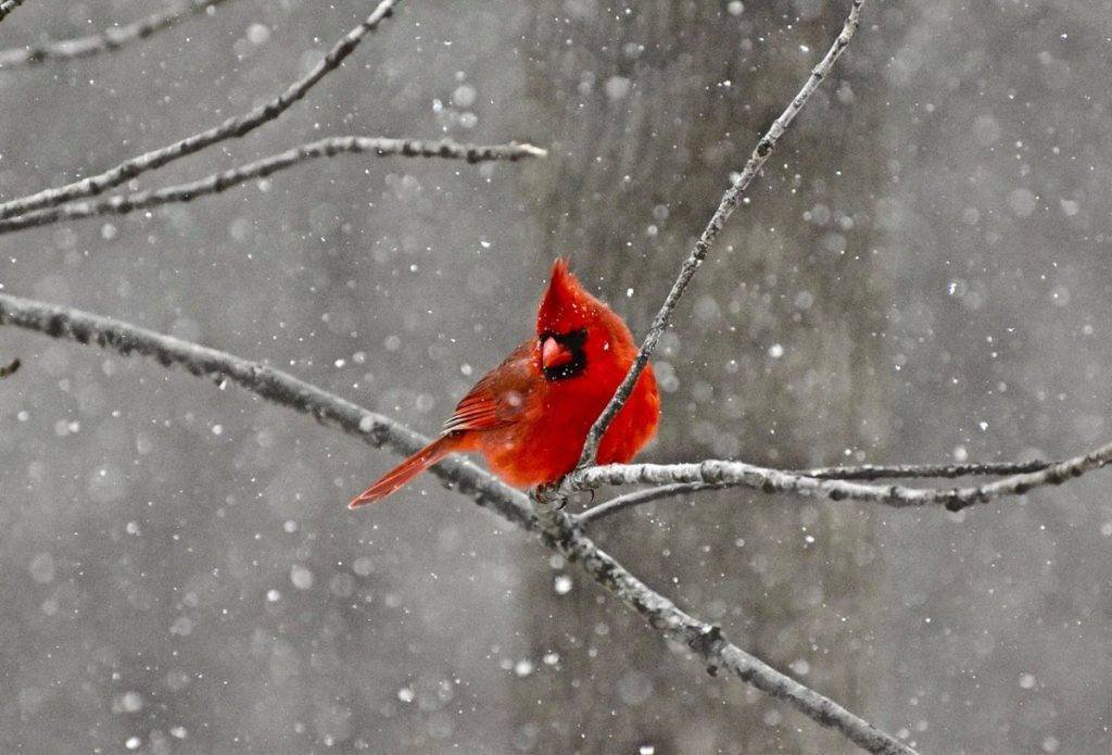 Cardinal in the snow, from my backyard in Hopewell Junction, NY