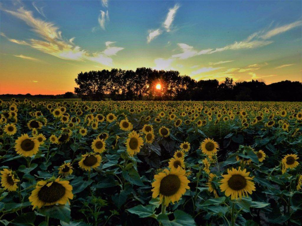 """2nd Place Ana Sprague @anawanna1958 """"Last nights sunset over the sunflower fields at Matthiessen State Park, in Oglesby, IL."""""""