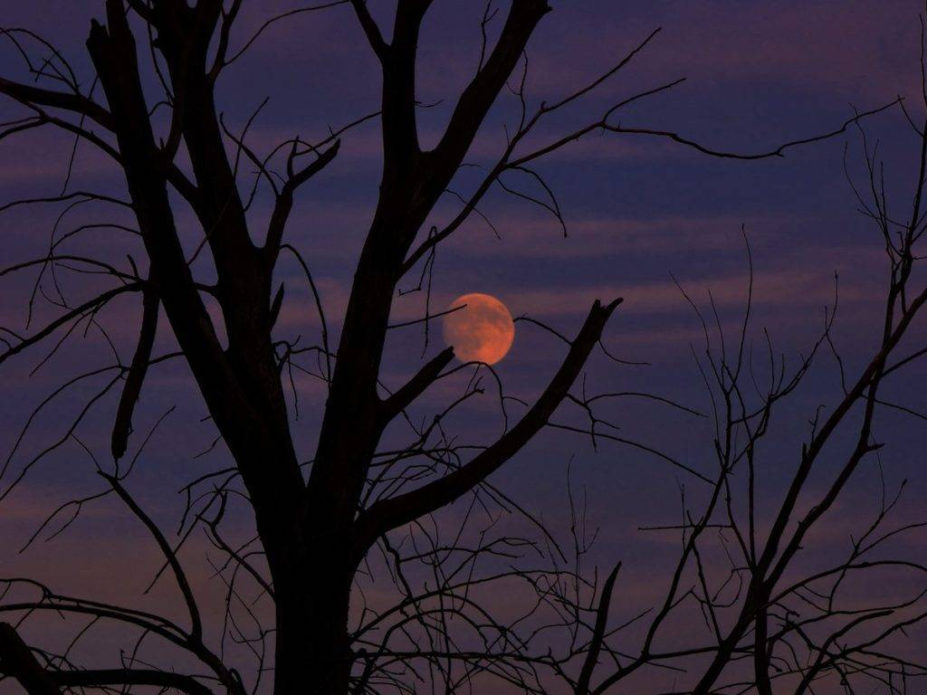 A dead tree springs to life with the moon at sunset in Chicago