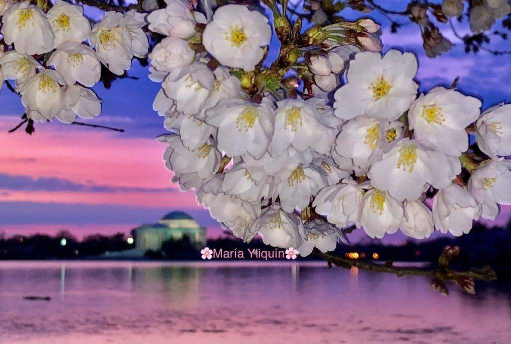Cherry Blossom at the Tidal Basin in Washington DC by María Yliquín @MMMaryluna