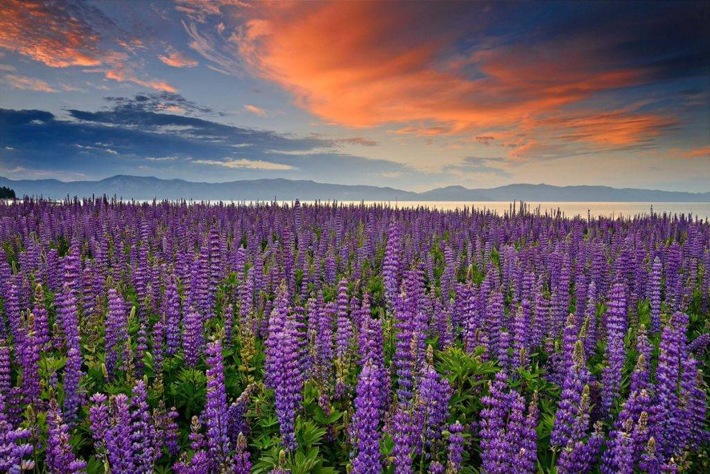 Field of blooming lupine wildflowers at Lake Tahoe by David Shield @DShieldPhoto