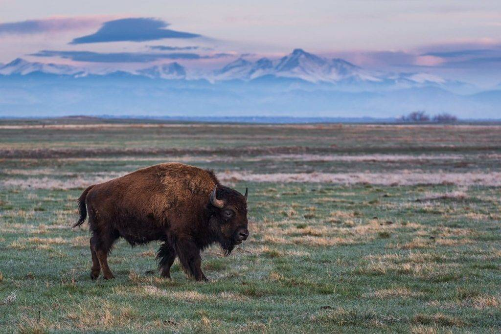 A bison strolls across the open plains of Colorado by Michael Ryno Photo @mnryno34