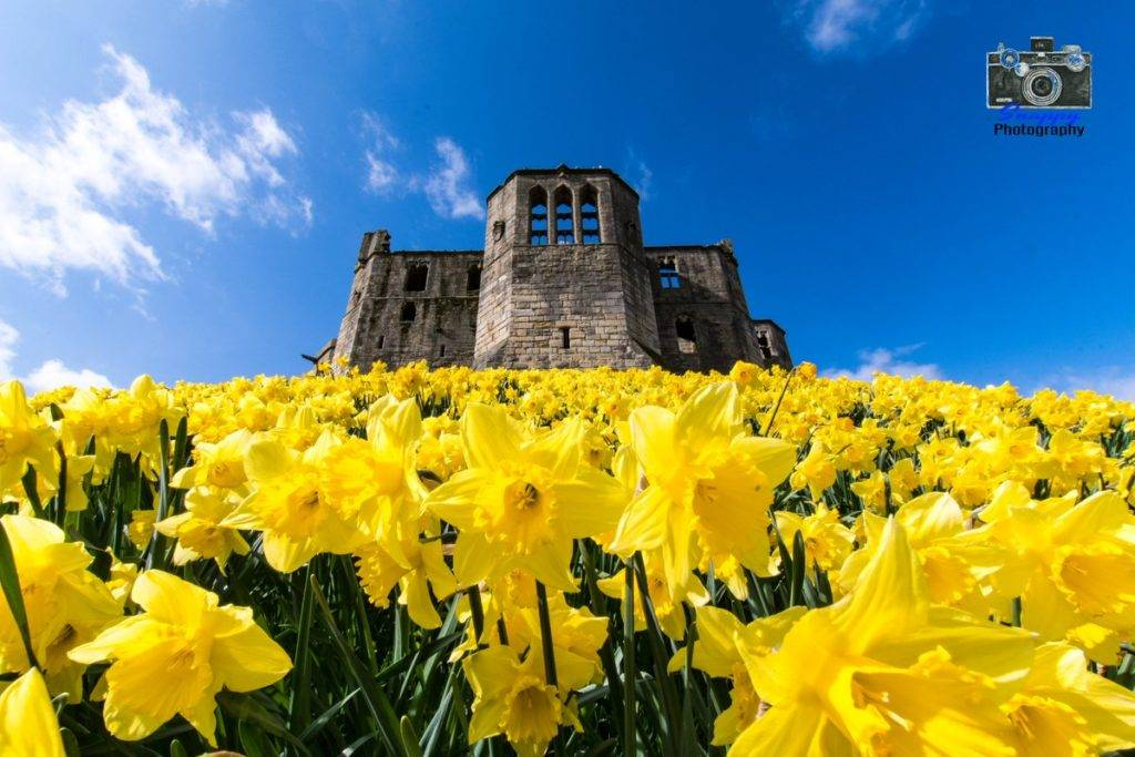 Carpet of daffodils at Warkworth Castle by Coastal Portraits @johndefatkin