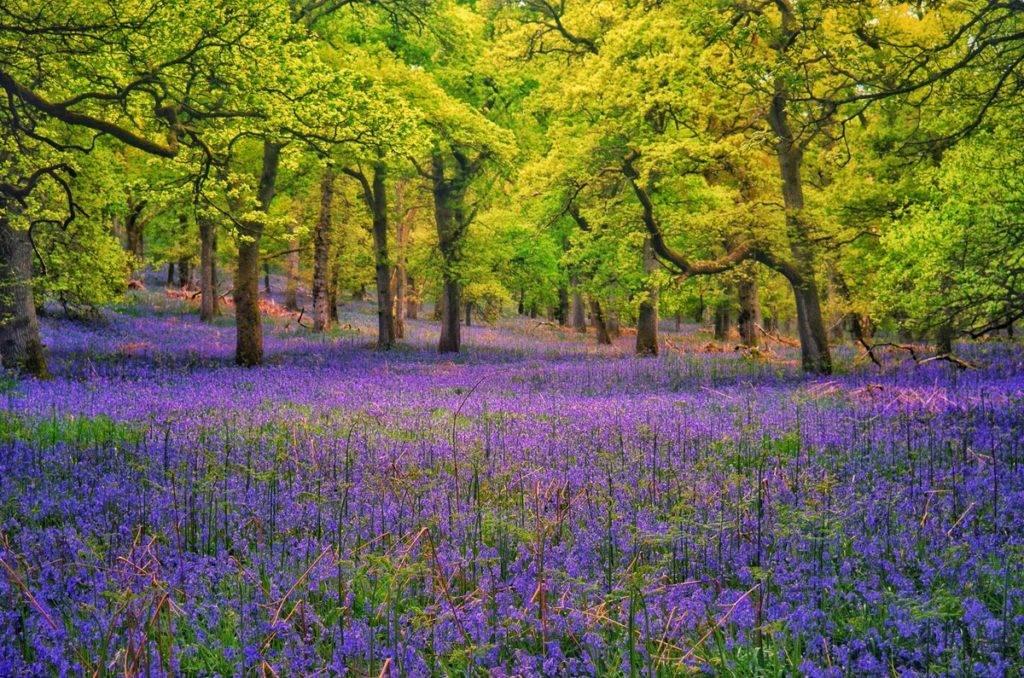 Beautiful bed of Bluebells in Perthshire at Kinclaven Woods by Charles McGuigan @CharlesMcGuiga2
