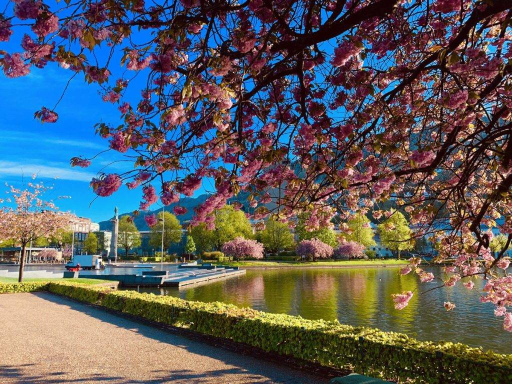 Cherry Blossom and sunshine in Bergen, Norway by Eva Olsen Photography @EvaOlsenPhoto