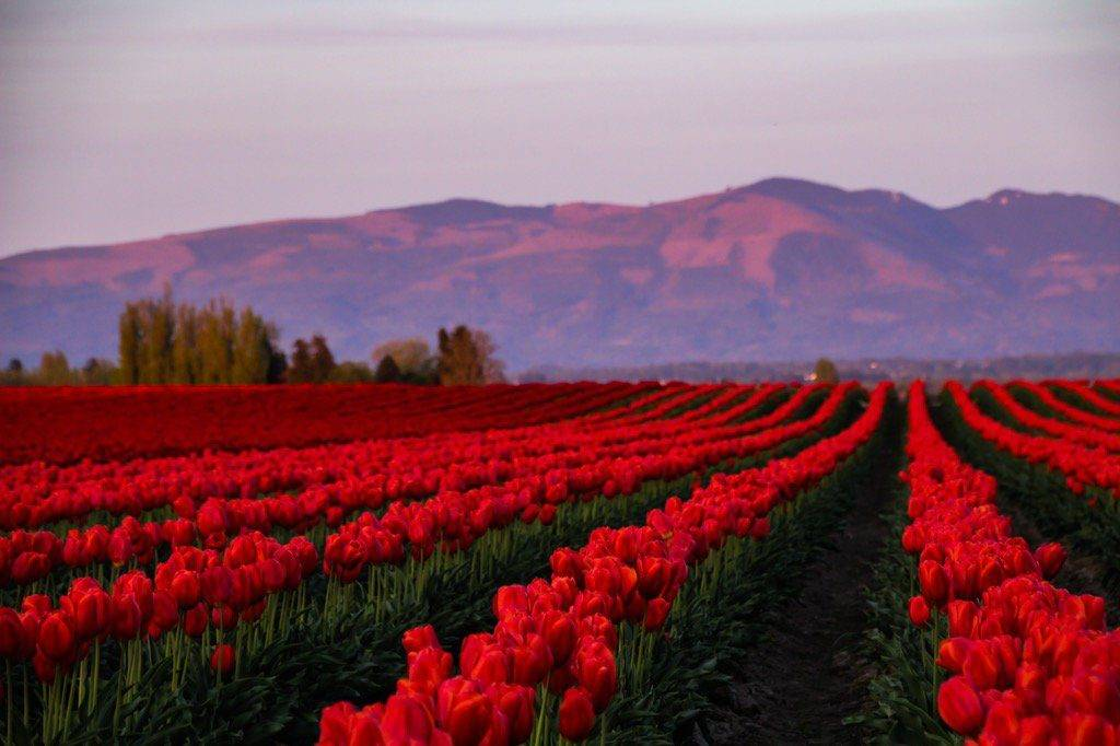 The last of the tulips in the spring evening glow by Lindsay Walker @RnLindsay