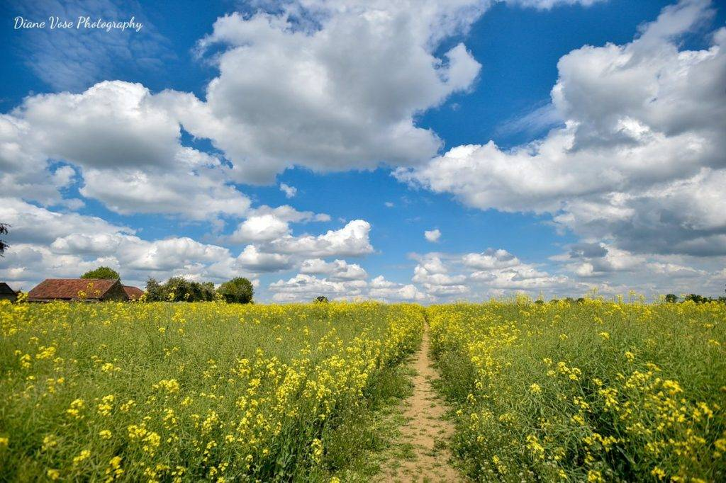 Yellow fields on a glorious sunny day in Dilton Marsh, Wiltshire by Diane Vose @dianevose
