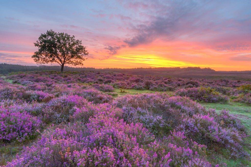 Heather in the New Forest by steven hogan @Steve_Hogan_