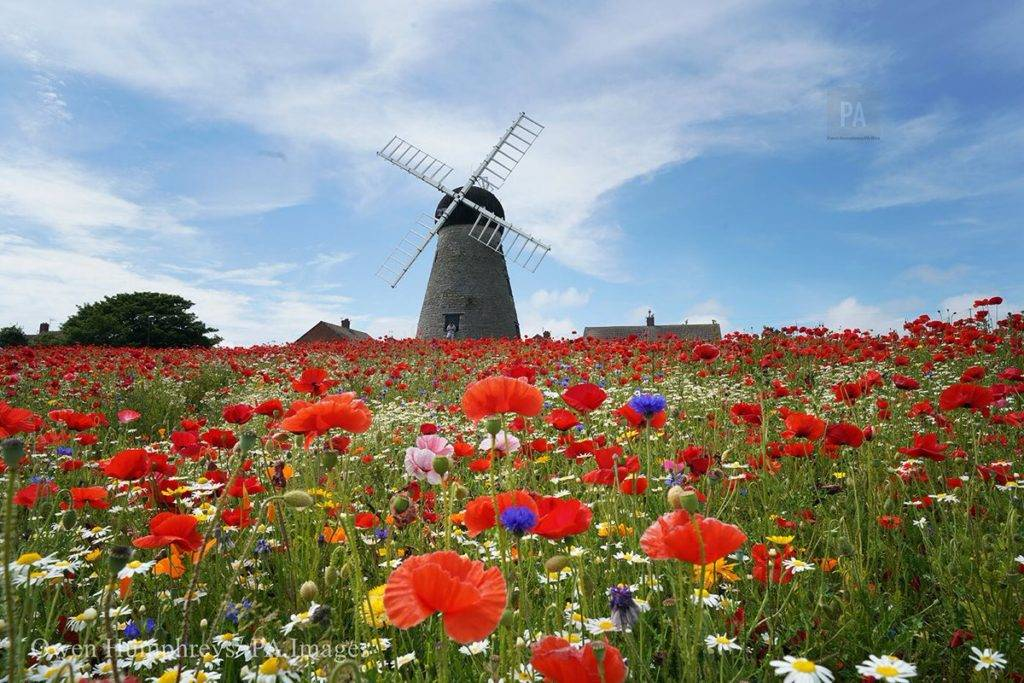 Poppies and wildflowers at Whitburn windmill on the North East by Owen Humphreys @owenhumphreys1