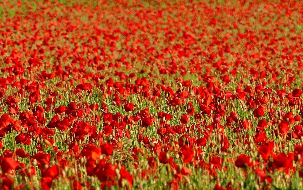 Stunning Poppy field near Corbridge, Hexham, Northumberland by Michael Allan @MRA_99