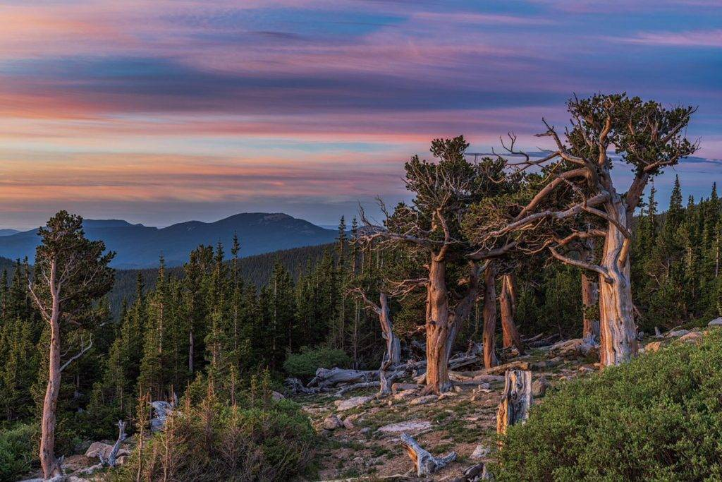 Ancient Bristlecone Pine Trees in Colorado by Michael Ryno Photo @mnryno34