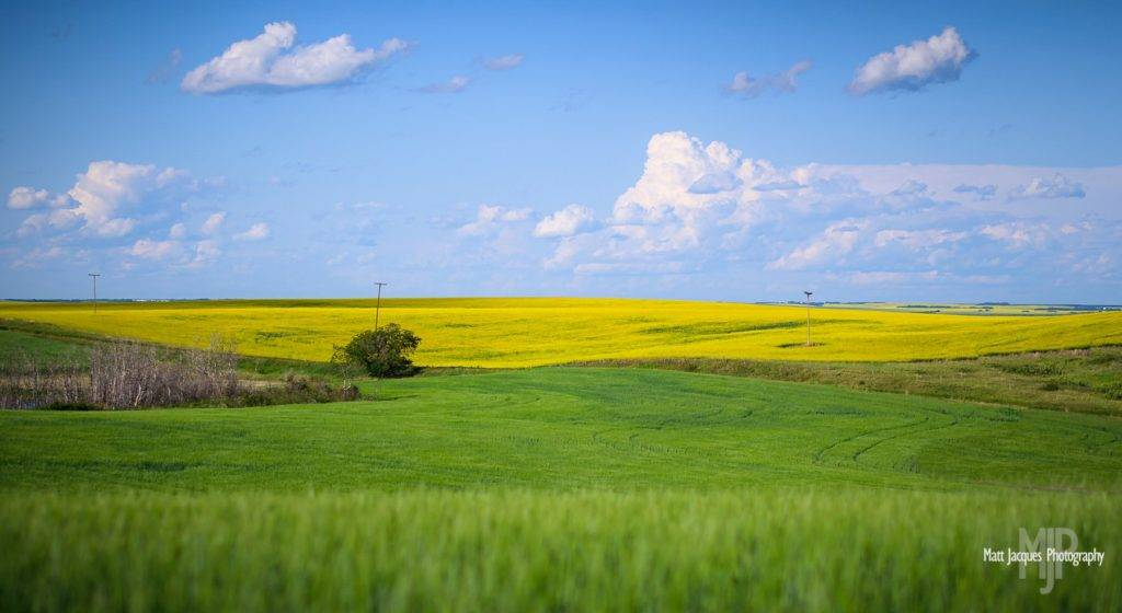 Young wheat and canola crops weave a vivid prairie tapestry not far from Battleford, Saskatchewan by Matt Jacques @MattJacques