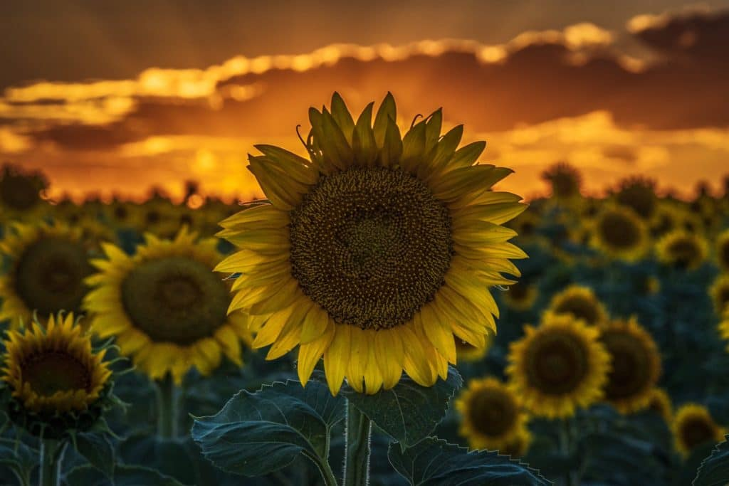 2nd Place A colorful sunset over a sunflower field near Denver International Airport by Michael Ryno Photo @mnryno34