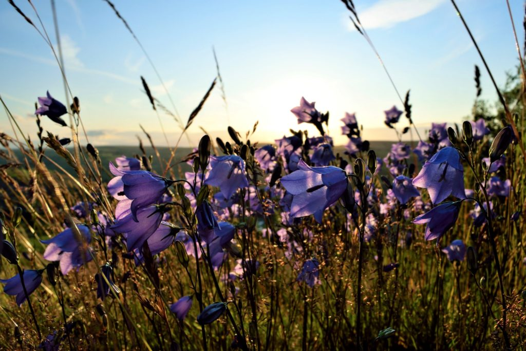 2nd Place Beautiful Bellflowers backlit by the setting sun in Huddersfield, West Yorkshire by Jane Brook @jayceb19