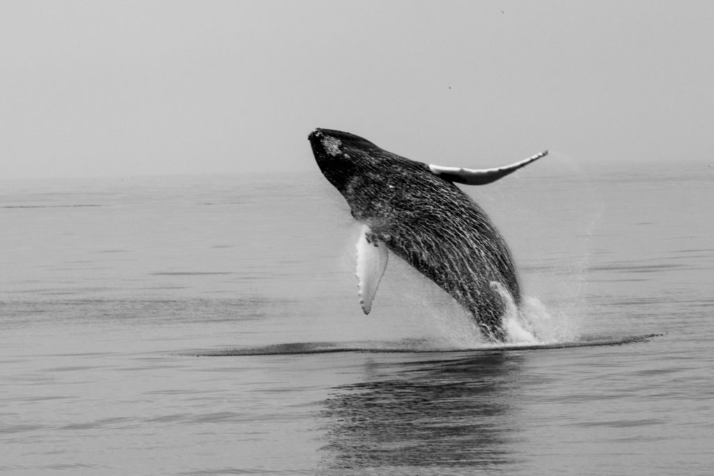 Humpback Whale by Chuck Martin