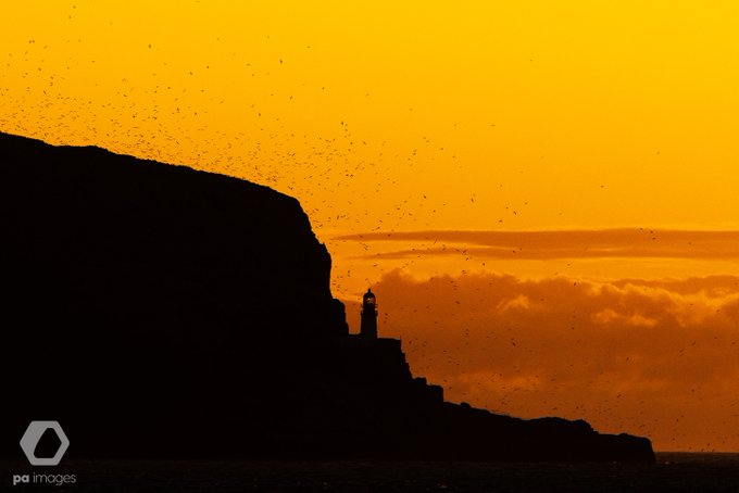 Northern gannets on Bass Rock are silhouetted at dawn, North Berwick, Scotland by Neil Squires @Neil_Squires