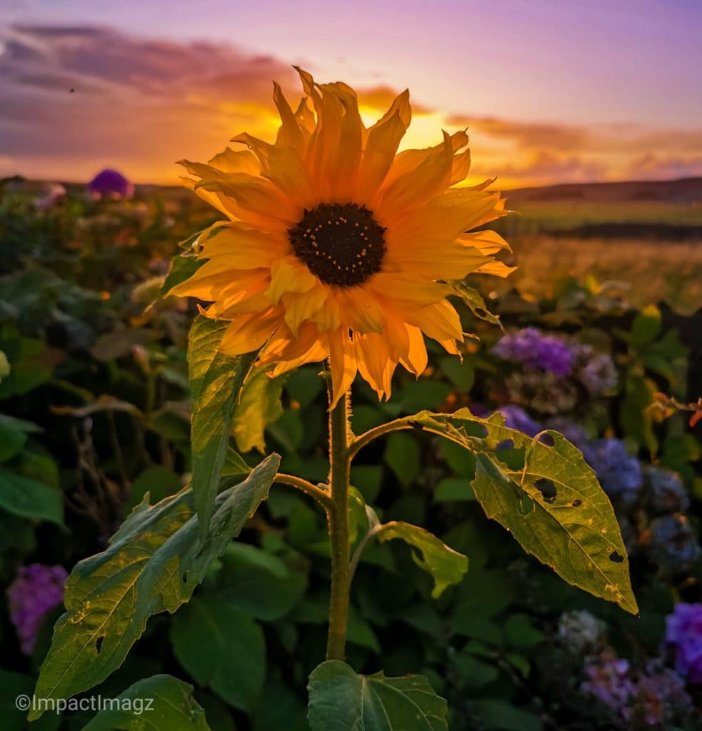 2nd Place A sunflower at sunset in my garden at Gress by Impact Imagz @ImpactImagz