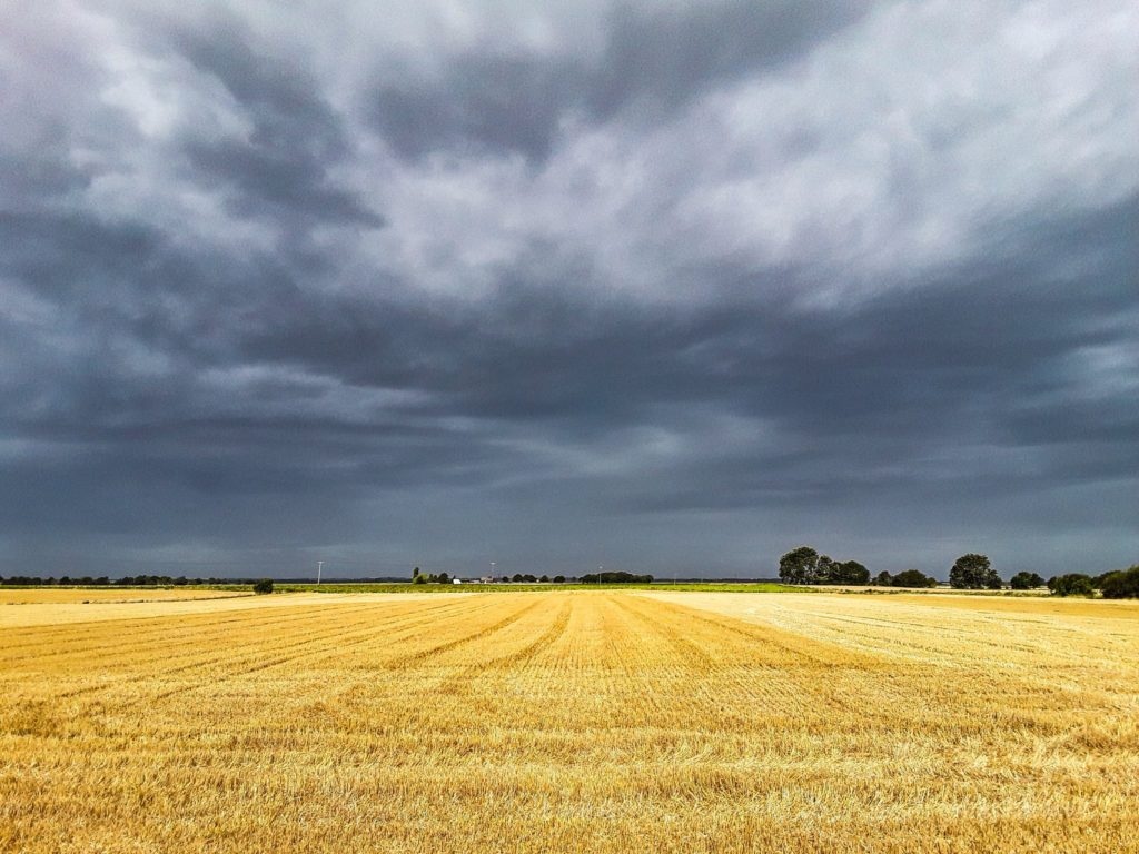 A summer field with a contrasting sky, Cambridgeshire by Christine Mitchell @chris_alpacas