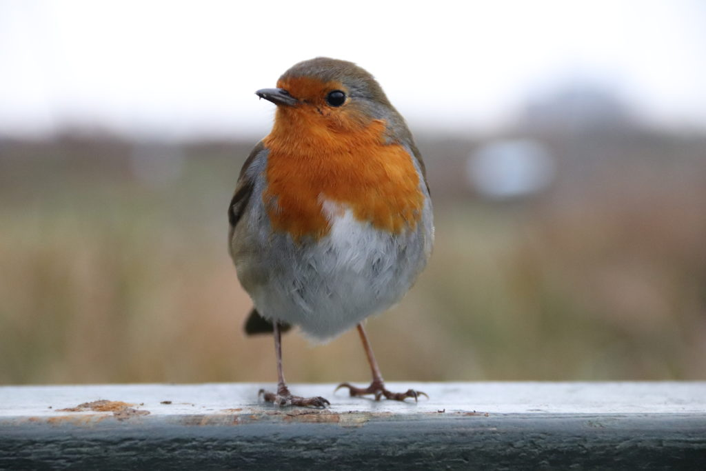 photo of a Robin