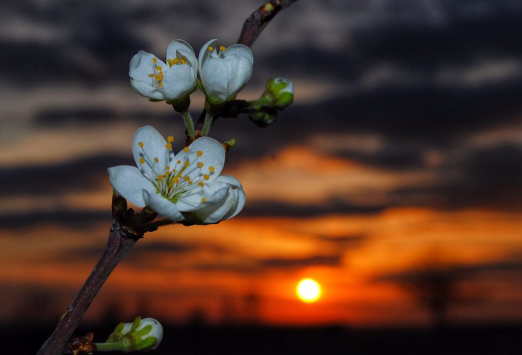 1st Place Blossom at sunset near Ely, Cambridgeshire by Veronica @VeronicaJoPo