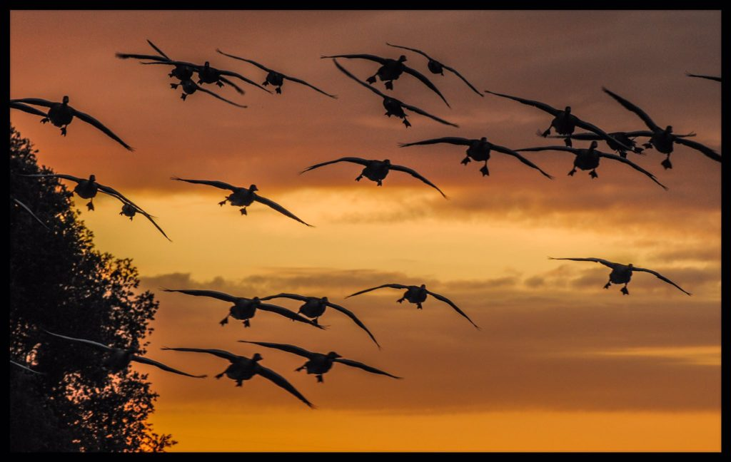 1st Place Geese at sunrise in Ely, Cambridgeshire by Veronica @VeronicaJoPo