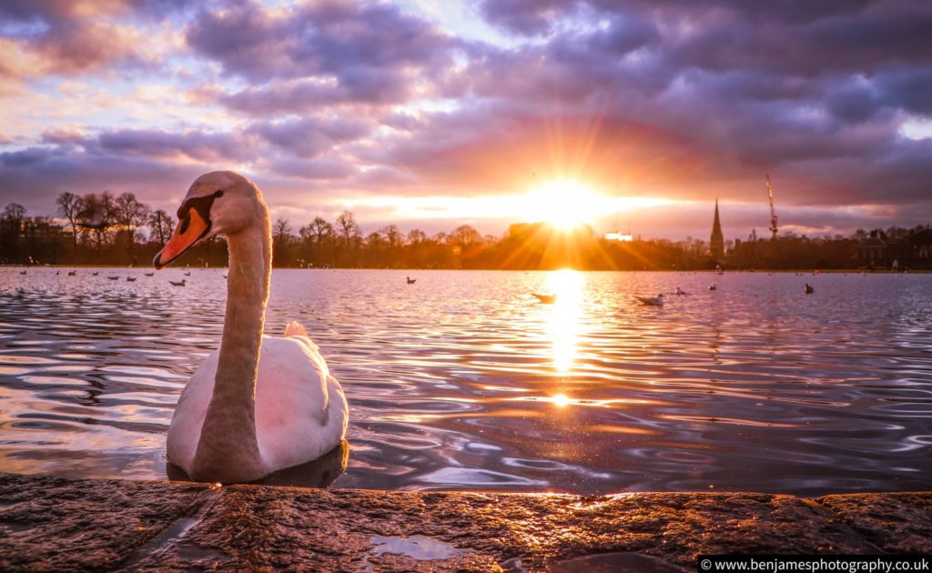 Swan at Kensington Palace at sunset by Ben James Photography @BenJamesPhotos