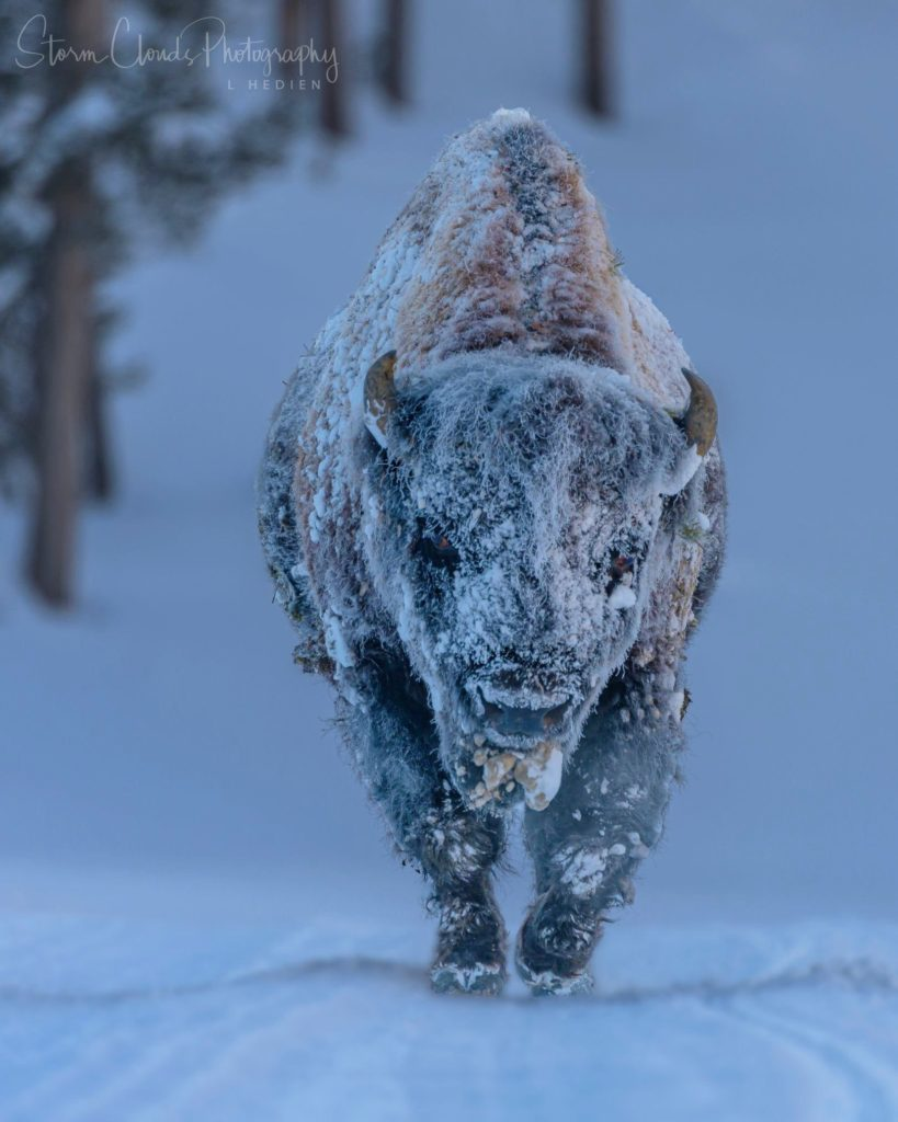 1st Place A frosty bison in Yellowstone by Laura Hedien- Storm Clouds Photography @lhedien