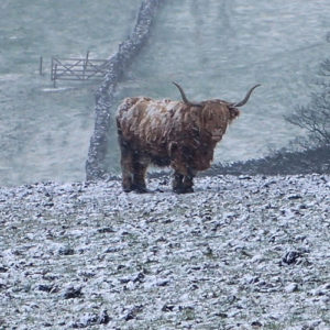 weather photo bull in a blizzard