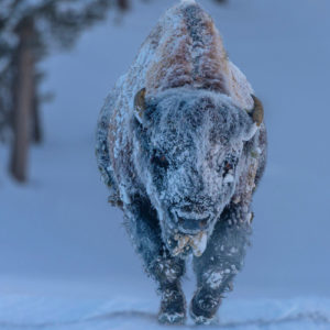 Weathered Bison