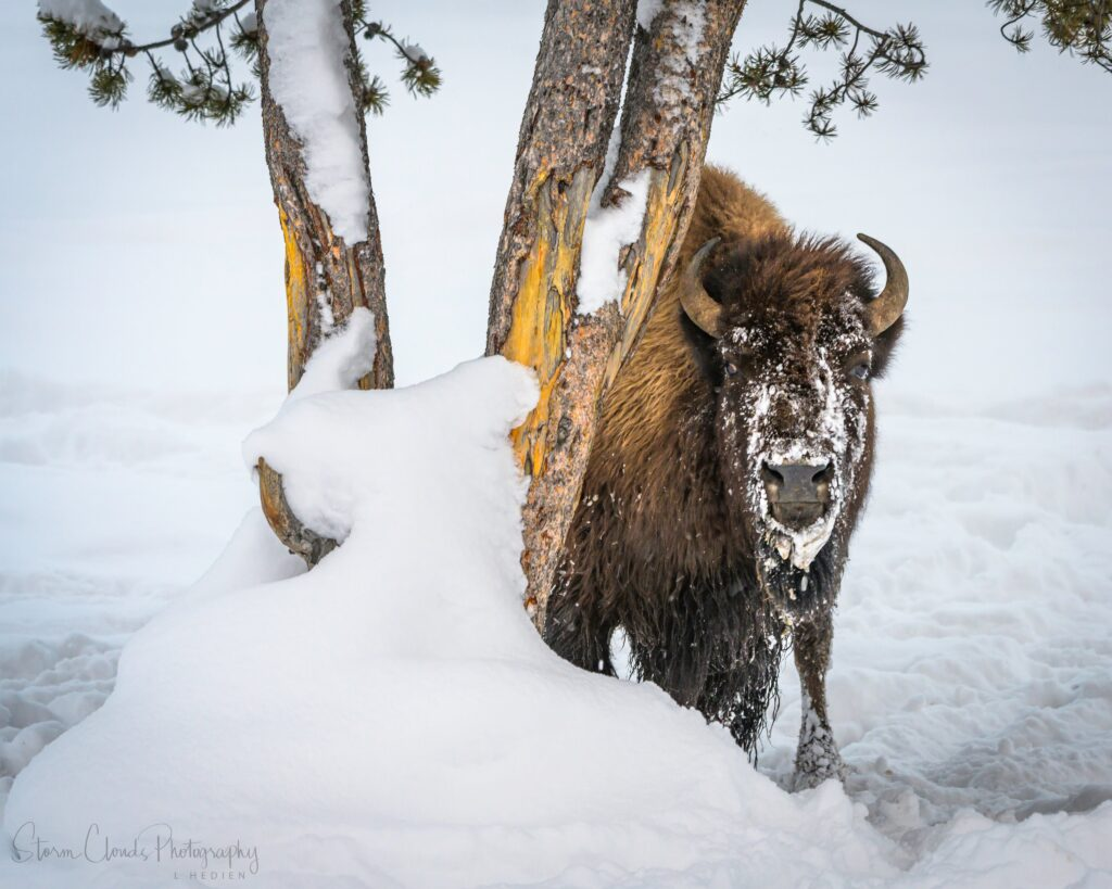 3rd Place Large, brown bison in Yellowstone National Park by Laura Hedien @lhedien