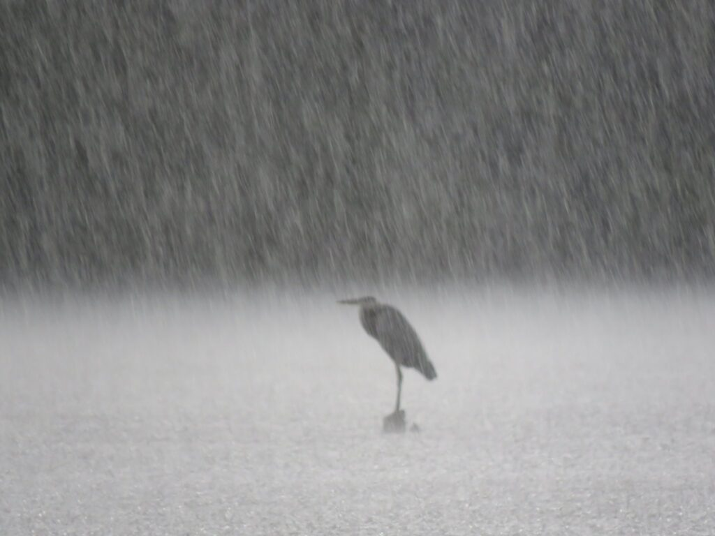 3rd Place Great Blue Heron in downpour in South Carolina by BGPhotography @BGPhotography8