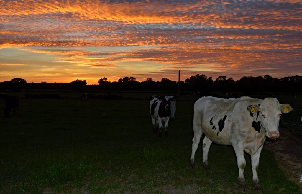 2nd Place Cows at sunset in a field at Warwickshire